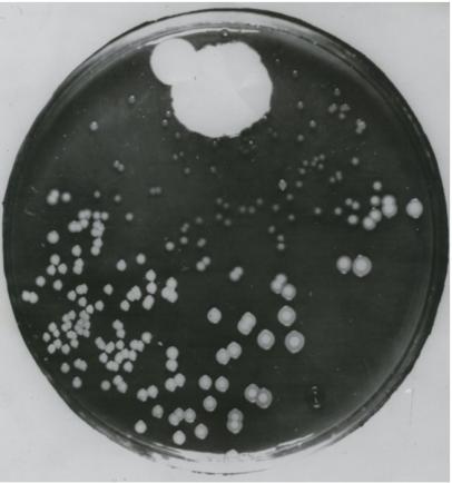 Petri dish with bacteria and penicillium mould